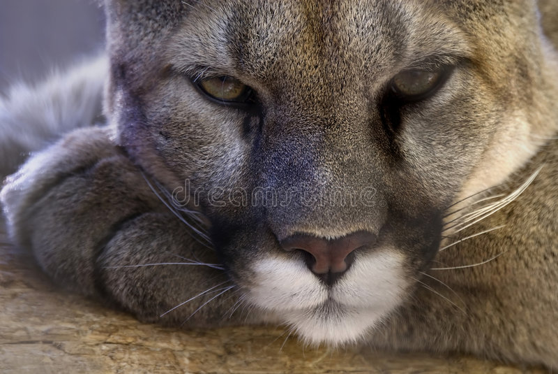 Cougar royalty free stock photo