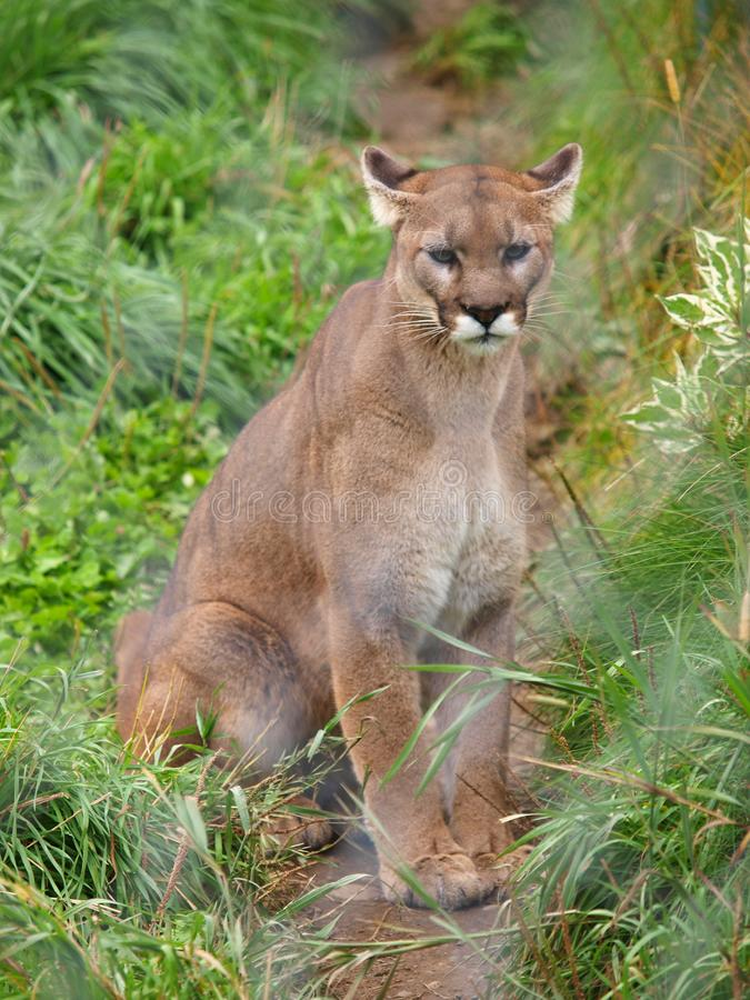 Cougar behind fence royalty free stock images