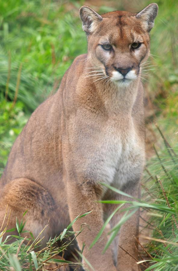 Cougar behind fence royalty free stock photography