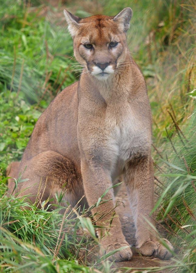 Cougar behind fence stock photos