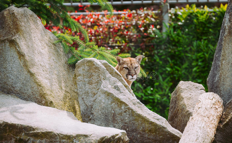 Cougar at Bellevue zoo royalty free stock photography