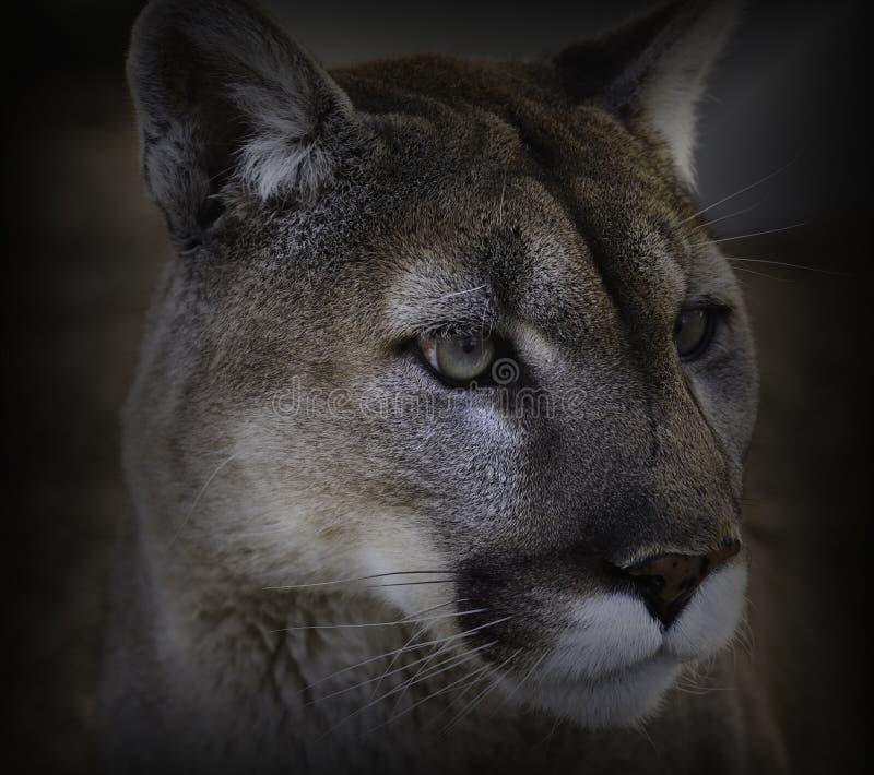 Cougar Close-up stock image