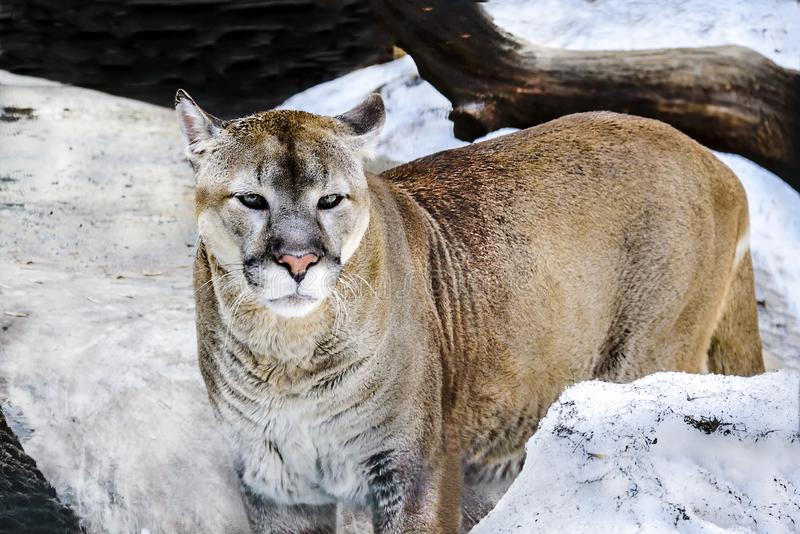 Cougar closeup at the zoo in early spring looks a warning look. royalty free stock images