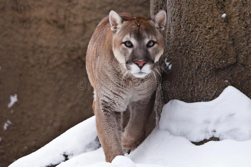 The cougar is approaching, it goes full face, a powerful animal goes forward, against the background of rocks and snow. The cougar cougar is approaching, it goes royalty free stock photo