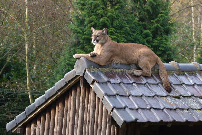 cougar dach zdjęcie royalty free