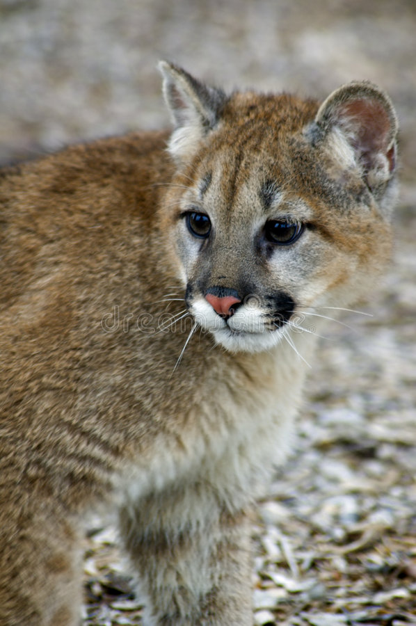 Cougar (Felis Concolor) - Head/Shoulders. Head and shoulders of young Mountain lion (Felis Concolor) looking to the left stock photo