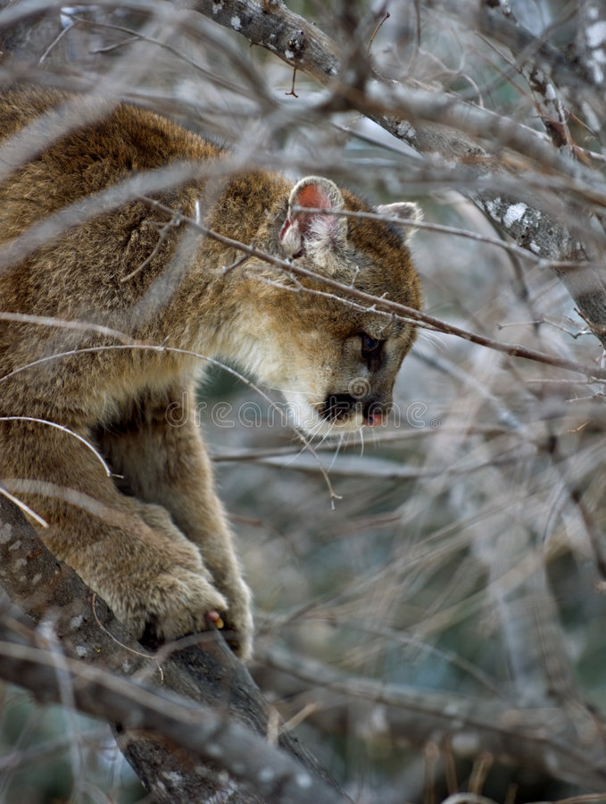 Free Cougar (Felis Concolor) Up A Tree Royalty Free Stock Photos - 664118