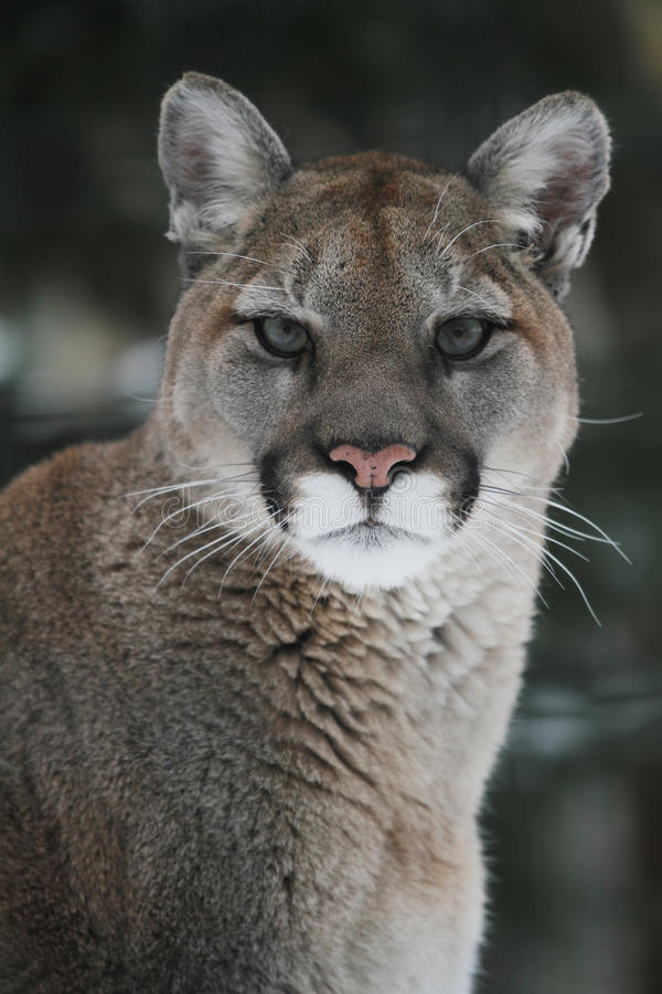 cougar headshot στοκ εικόνα με δικαίωμα ελεύθερης χρήσης
