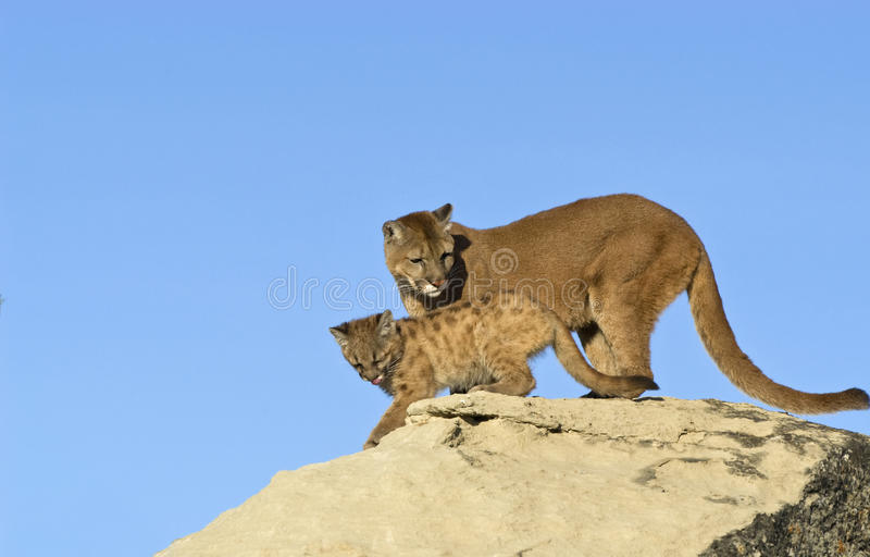 Download Cougar and kit stock image. Image of background, animal - 13230385