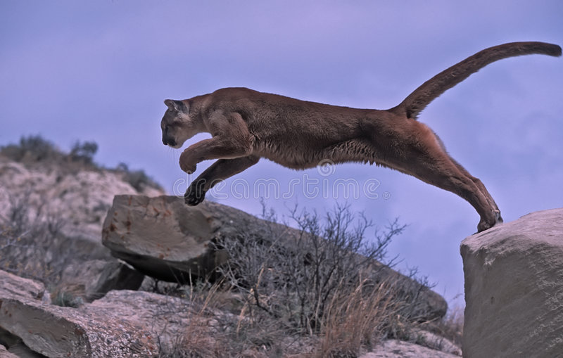 Cougar leap royalty free stock photography