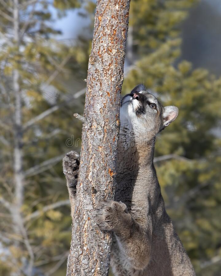 cougar i rogaland