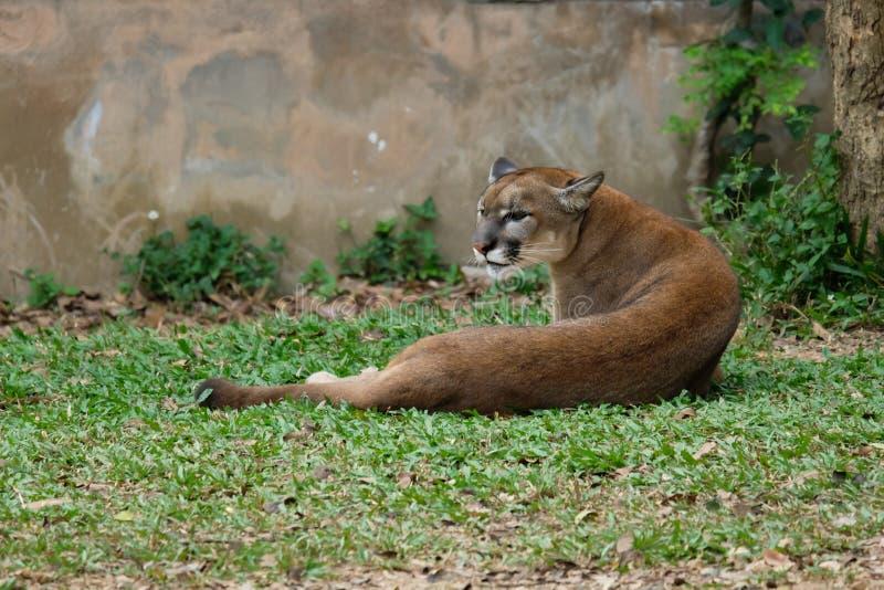 Cougar oder Puma lizenzfreies stockfoto