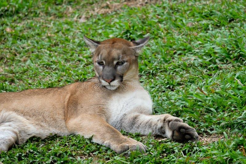 Cougar oder Puma lizenzfreies stockbild