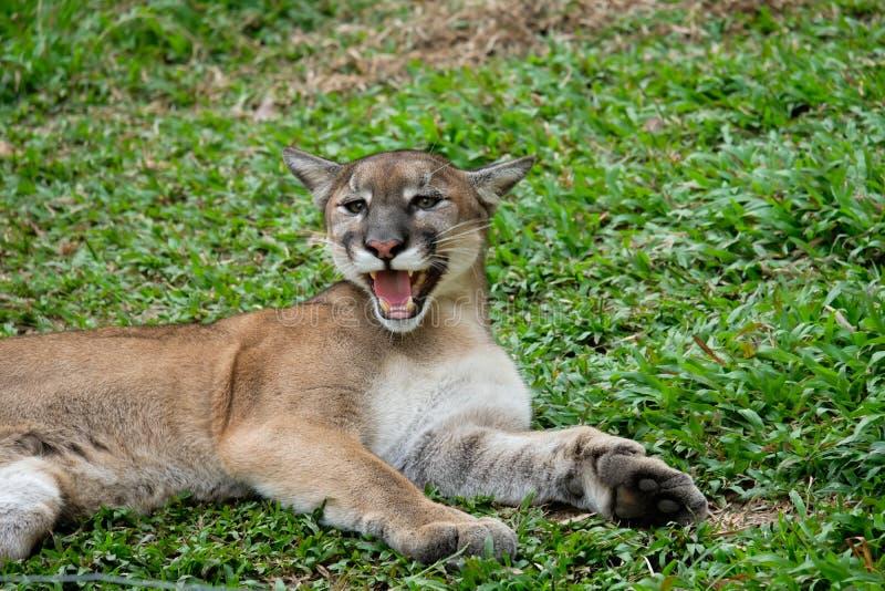 Cougar oder Puma stockbilder