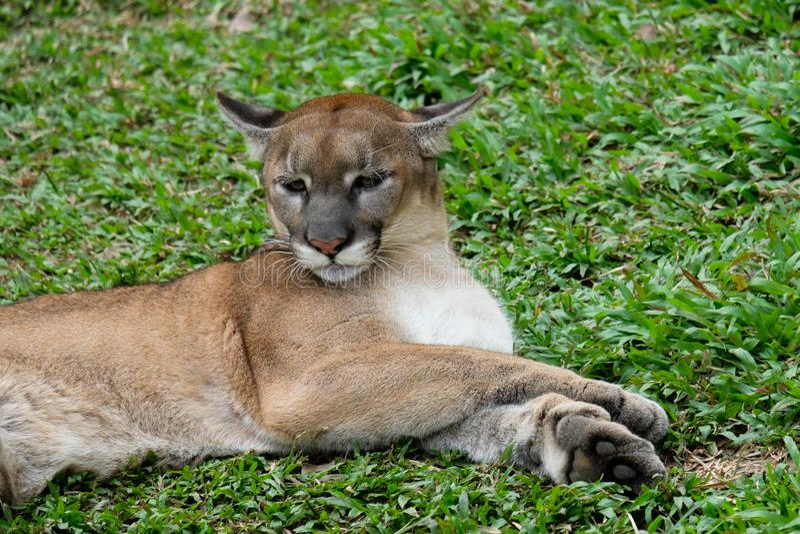 Cougar oder Puma stockfotografie