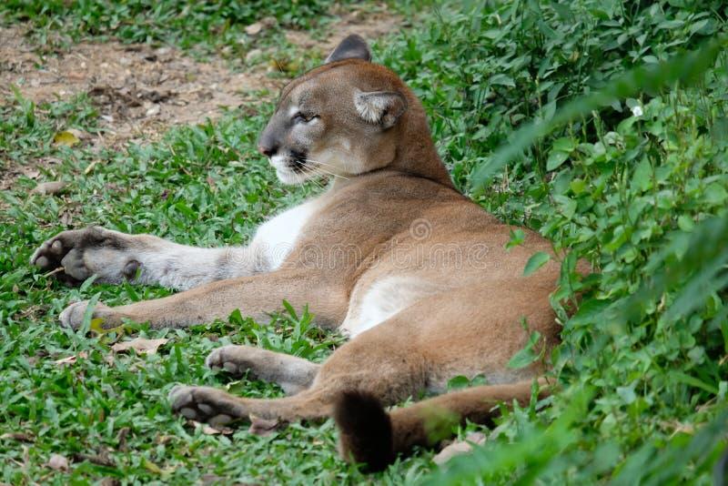 Cougar oder Puma lizenzfreie stockfotografie
