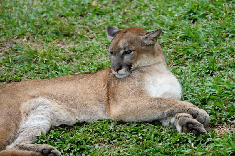 Cougar oder Puma lizenzfreie stockbilder