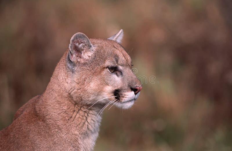 Download Cougar portrait stock image. Image of wild, wildlife - 12807383