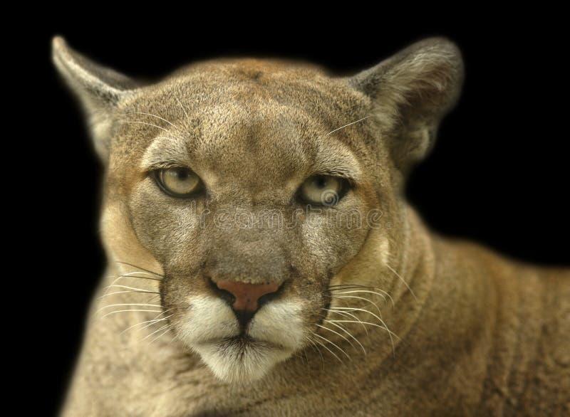 Cougar portrait stock images