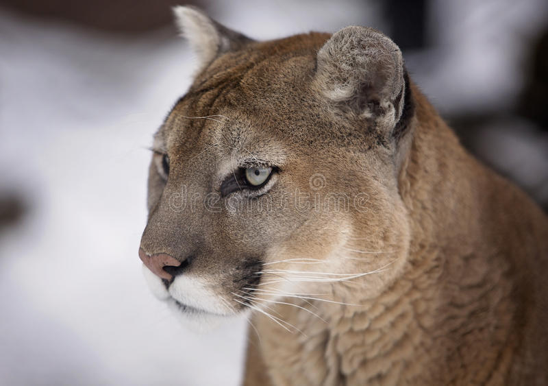Cougar. Portrait of a Cougar, Mountain Lion, Puma or Panther. Soft focus with shallow depth of field stock photos