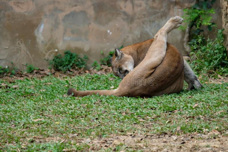 Cougar of Puma stock afbeelding