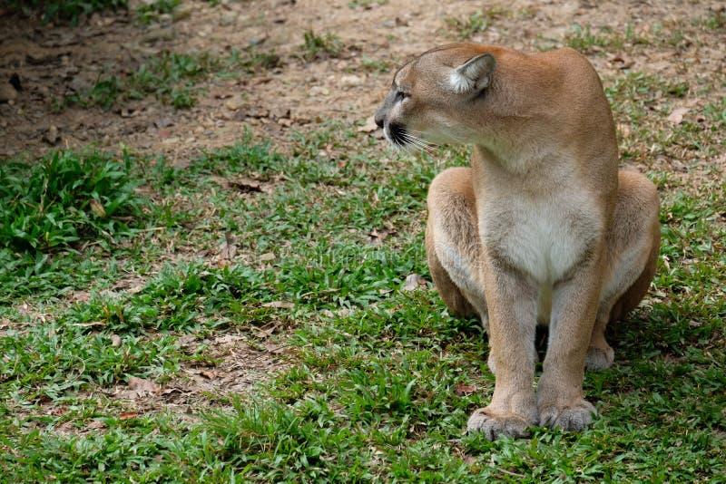 Cougar of Puma royalty-vrije stock afbeelding