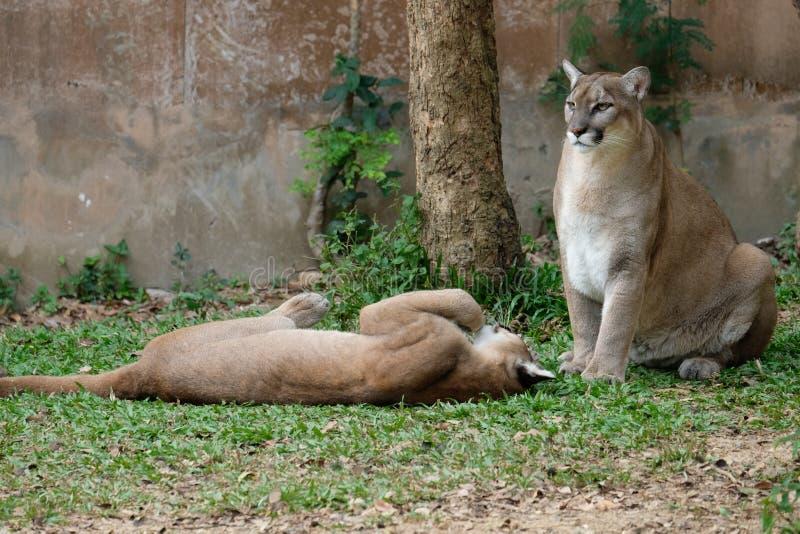 Cougar of Puma royalty-vrije stock foto's