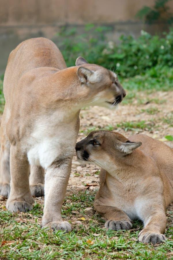 Cougar of Puma stock afbeeldingen