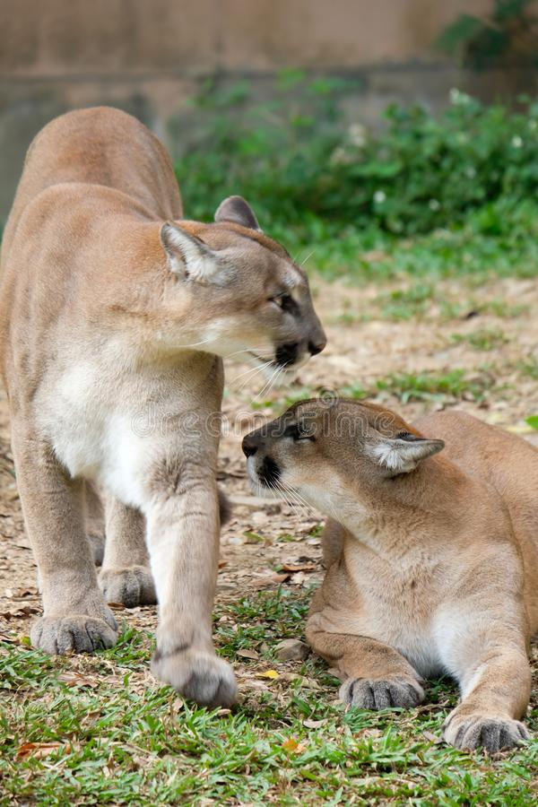 Cougar of Puma royalty-vrije stock afbeeldingen