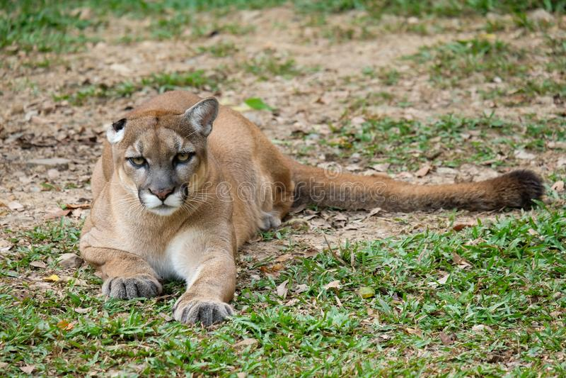 Cougar of Puma stock fotografie