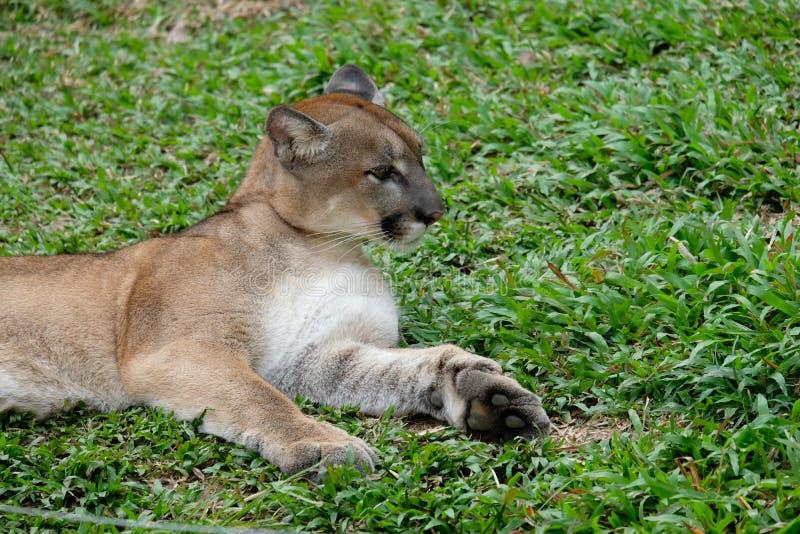 Cougar of Puma stock foto's