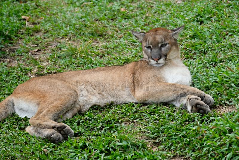 Cougar of Puma stock foto