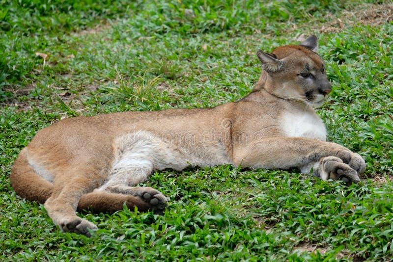 Cougar of Puma royalty-vrije stock foto