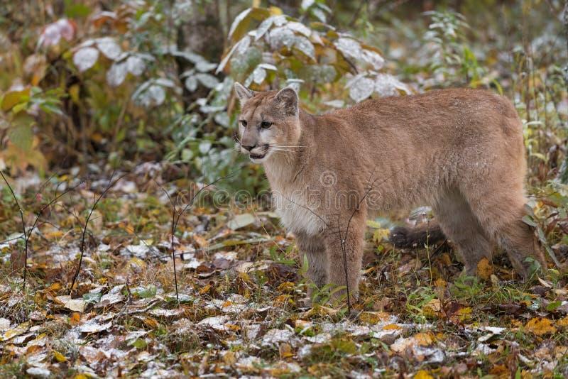 Cougar Puma concolor Stands Admist Snow Covered Autumn Leaves royaltyfri bild