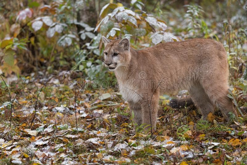Cougar Puma concolor Stands Admist Snow Covered Autumn Leaves royalty-vrije stock afbeelding