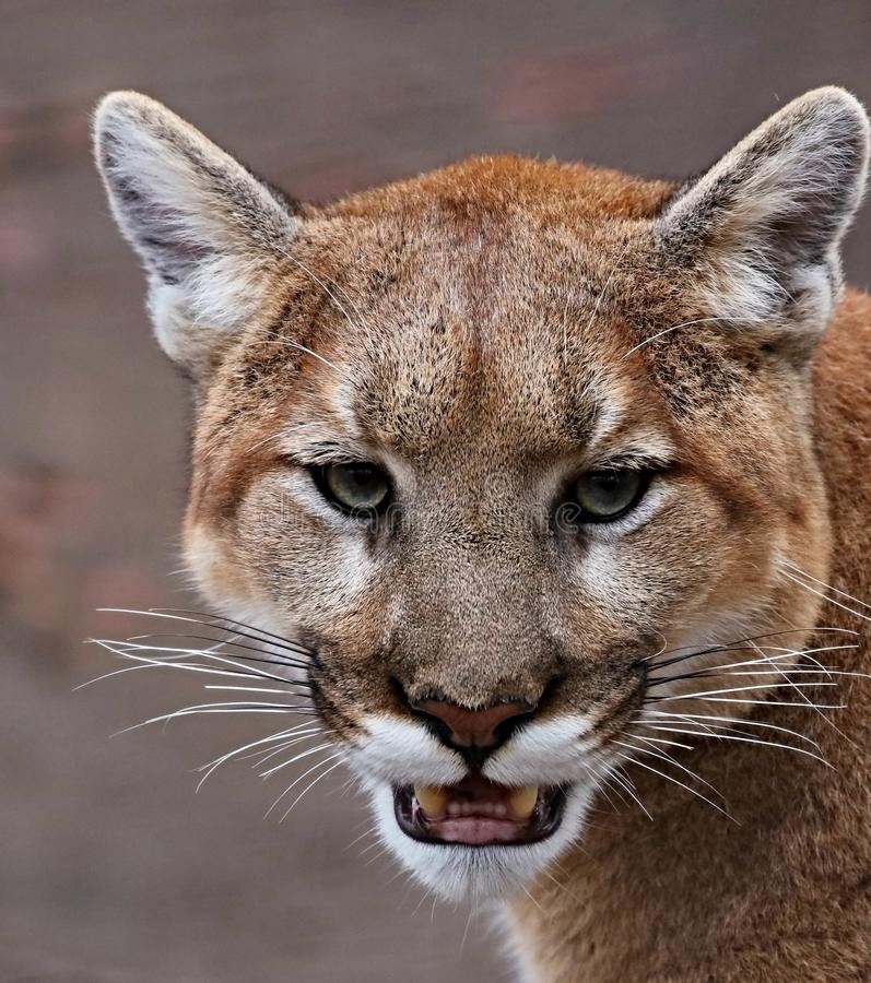 The cougar Puma concolor in the ZOO royalty free stock photography