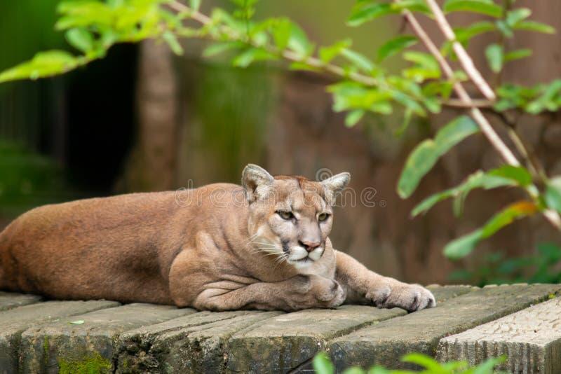 cougar lizenzfreies stockbild
