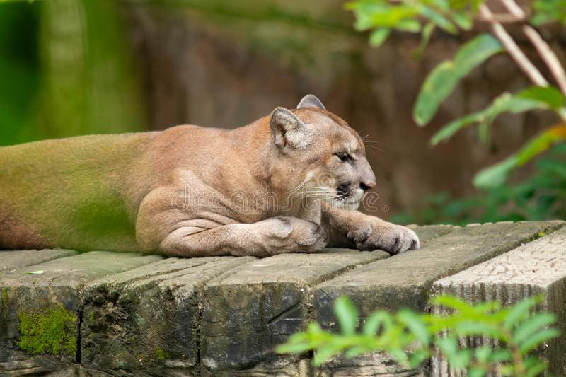 cougar lizenzfreie stockbilder