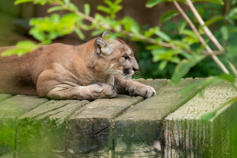 cougar stockbilder