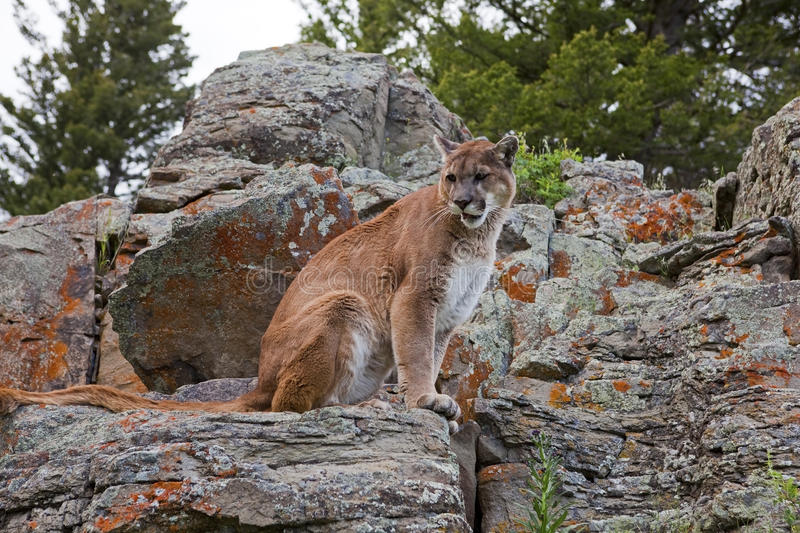 Cougar at rest stock photography