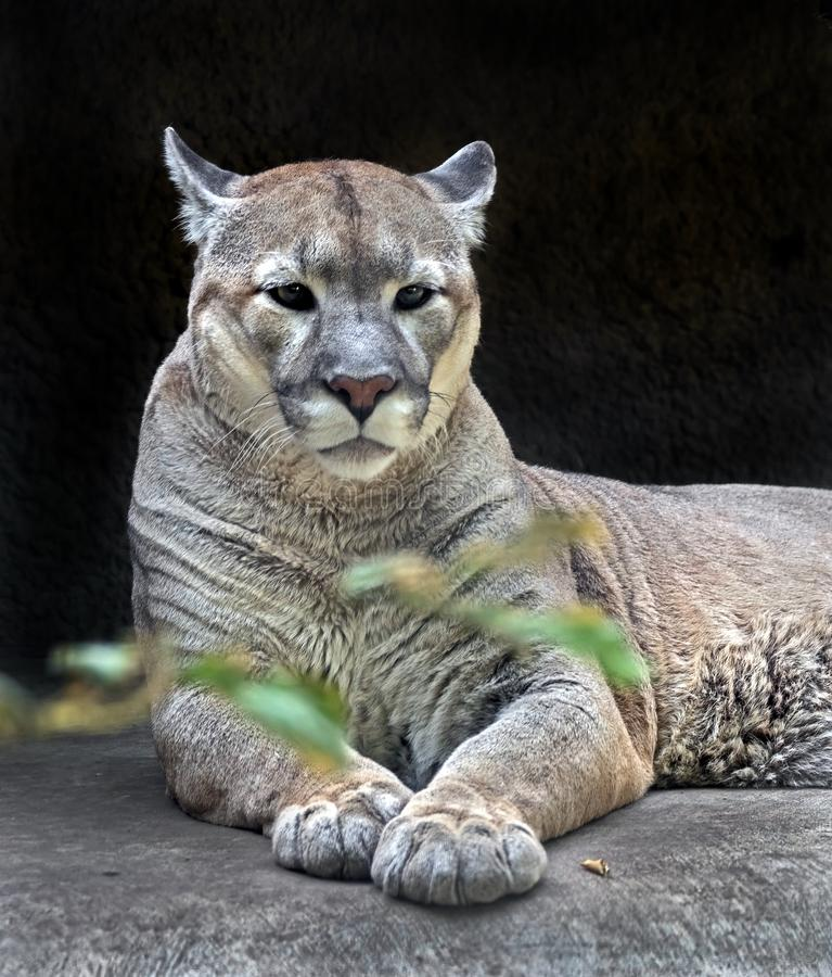 Cougar 3 royalty free stock images