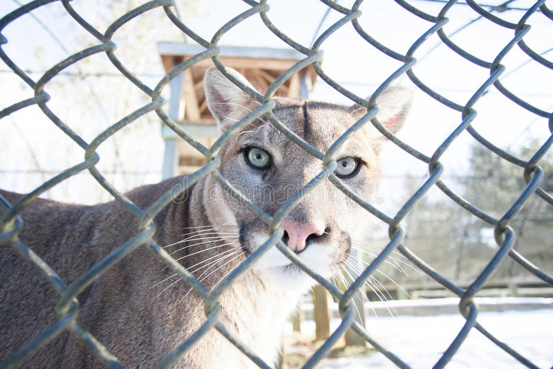 Cougar. A Cougar sits behind a cage inside this halifax zoo royalty free stock images