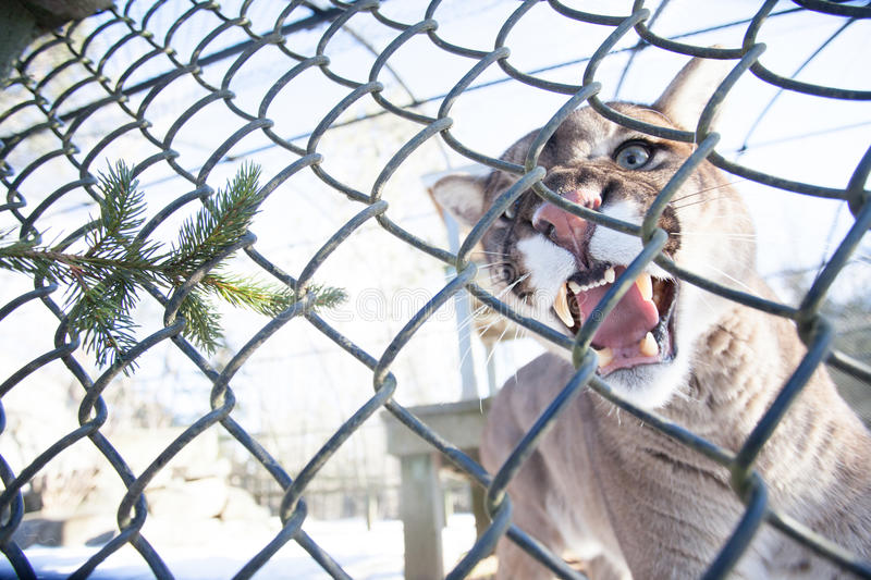 Cougar. A Cougar sits on a ledge inside a cage showing its teeth inside this zoo stock photography