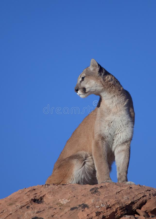 Cougar sitting on top of a sandstone boulder looking over it`s shoulder into the morning sun. A cougar sits on top of a red sandstone boulder with the clear royalty free stock photos