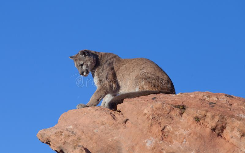A cougar sitting on a red sandstone ledge in the desert of the American southwest looking down over the edge. A cougar sitting on a red sandstone ledge in the royalty free stock photo