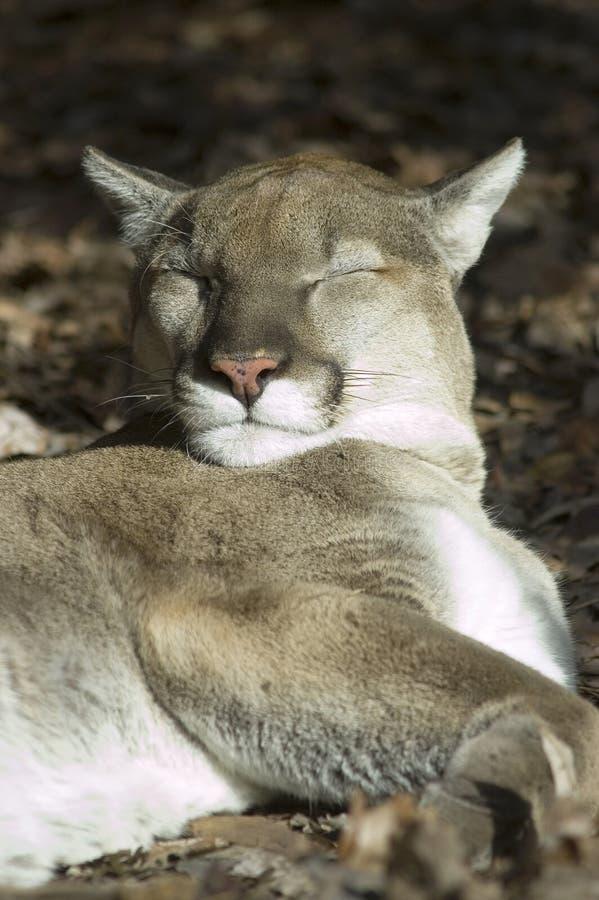 Cougar taking a nap in the sun stock photos