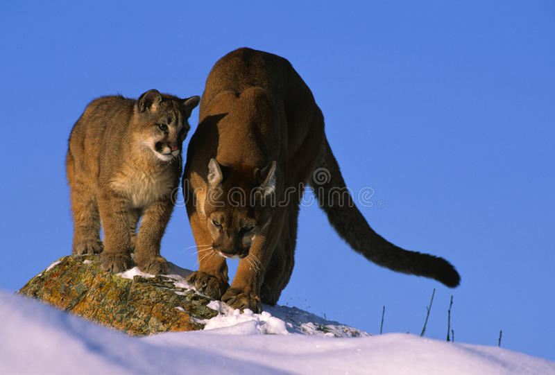 Cougar Teaching Her Cub How to Hunt royalty free stock images