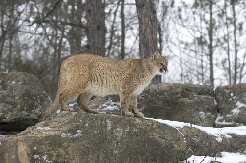 Download Cougar in winter stock photo. Image of puma, cougar, wildlife - 15253070