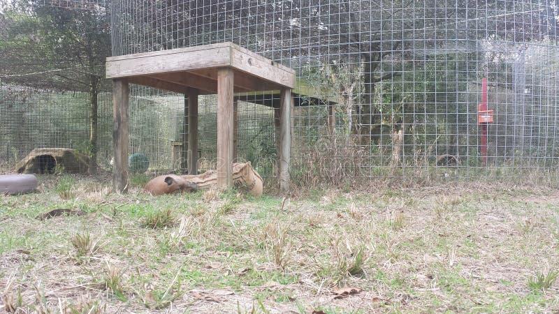 cougars στοκ φωτογραφίες με δικαίωμα ελεύθερης χρήσης