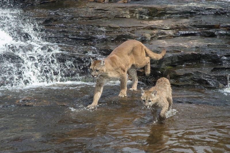 cougars στοκ εικόνα